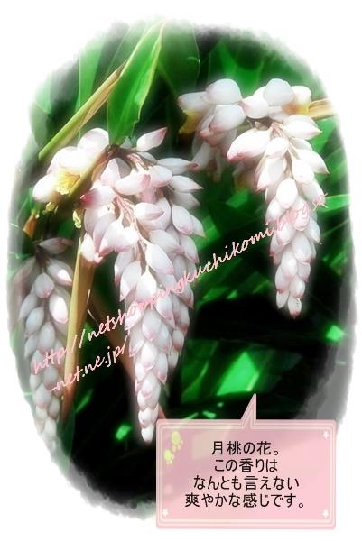 月桃のお花.jpg